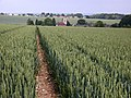 Wheat and Trottiscliffe church - geograph.org.uk - 491301.jpg