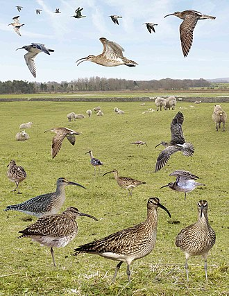 Whimbrel - Image: Whimbrel from the Crossley ID Guide Britain and Ireland
