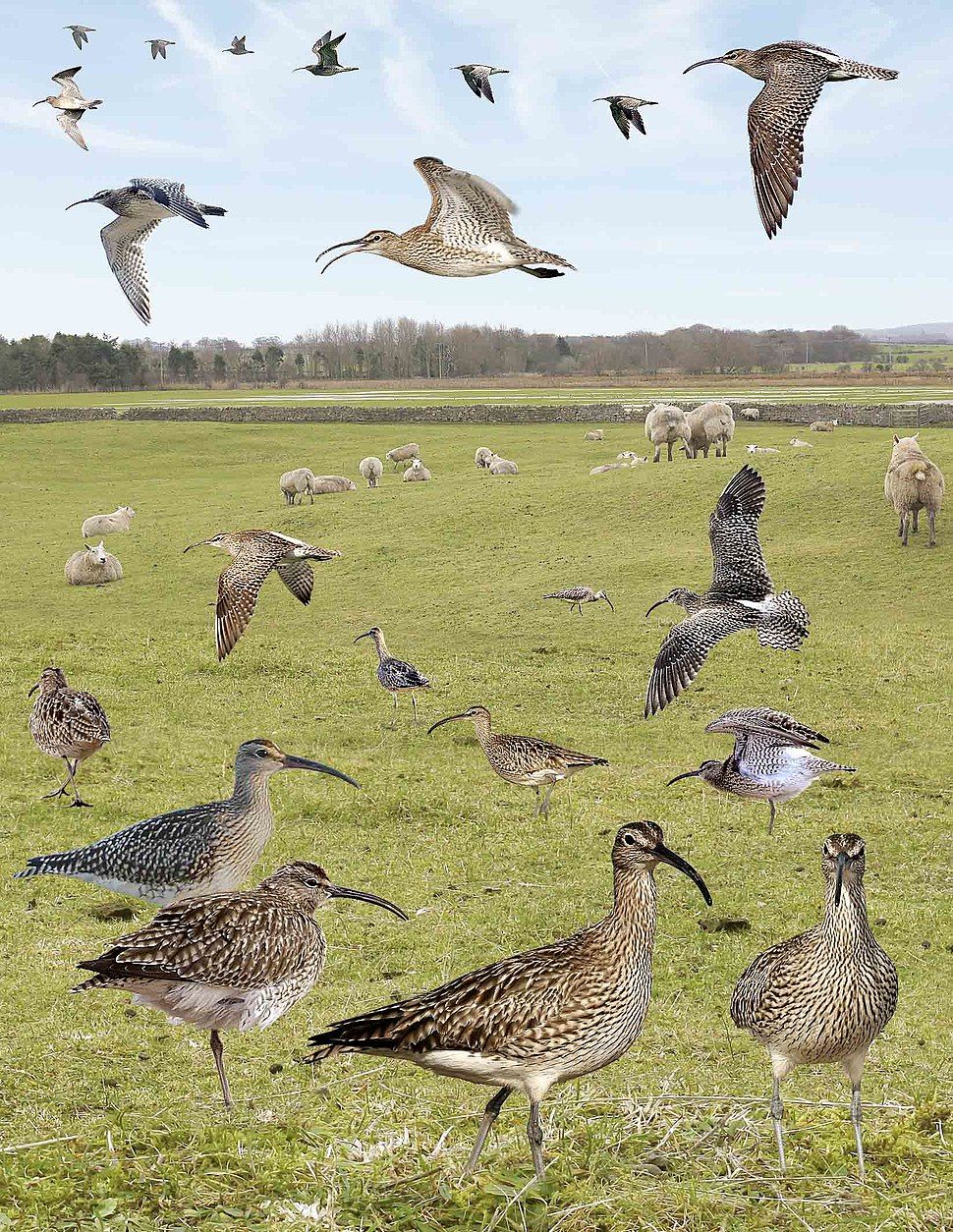 Whimbrel from the Crossley ID Guide Britain and Ireland