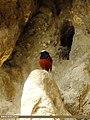 White-capped Redstart (Chaimarrornis leucocephalus) (15893486795).jpg