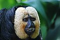 White-faced Saki Monkey (15308016795).jpg