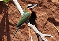 White-fronted Bee-eater, Merops bullockoides, at Ezemvelo Nature Reserve, near Bronkhorstspruit, South Africa (22424560540).jpg