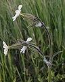 White Campion (Silene latifolia) - Guelph, Ontario 2020-06-01.jpg