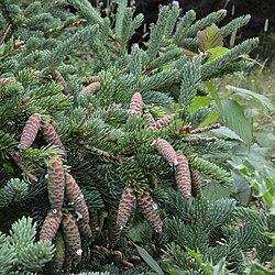 White Spruce (Picea glauca) - Lark Harbour, Newfoundland 2019-08-18.jpg