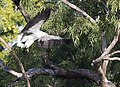 White bellied sea eagle 10 (14801284690).jpg