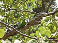 Wild Parrot (1071810492).jpg