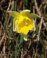 Wild daffodil above Buckland Mill - geograph.org.uk - 700110.jpg