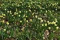 Wild daffodils in Hallwood - geograph.org.uk - 1211521.jpg