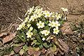 Wild primroses - Yabani Çuha çiçeği 01.jpg