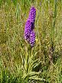 Wilde orchidee in het Lauwersmeer gebied.JPG