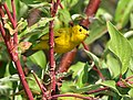 Wilson's warbler on Seedskadee National Wildlife Refuge (36270340663).jpg