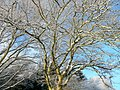 Winter oak - geograph.org.uk - 1628307.jpg