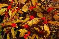 Winterberry Holly Ilex verticillata 'Winter Red' Leaves Berries 3008px.jpg