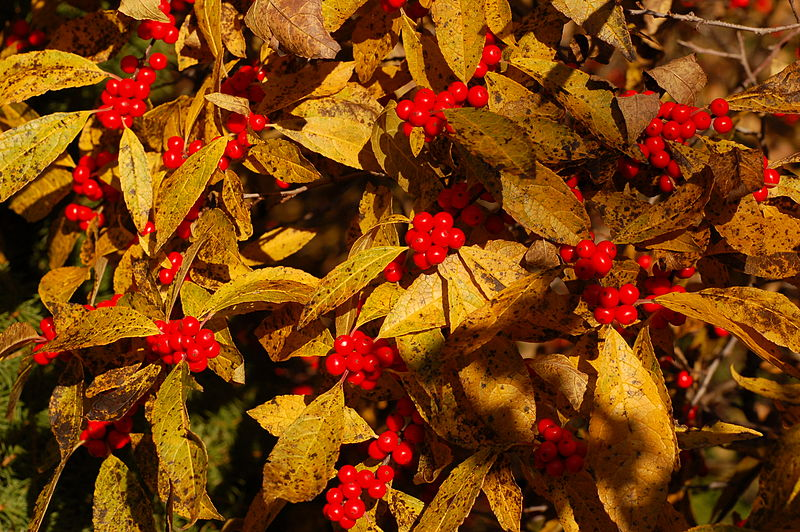 File:Winterberry Holly Ilex verticillata 'Winter Red' Leaves Berries 3008px.jpg