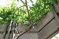 Wisteria sinensis Plena 2zz.jpg