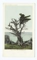 Witch Tree, Monterey, Calif (NYPL b12647398-66474).tiff