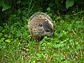 Woodchuck offspring in our yard (5826410326).jpg