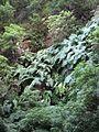 Woodwardia radicans La Palma 2.jpg