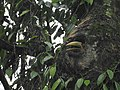 Wreathed Hornbill about the emerge from the nest cavity 04.jpg