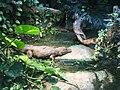 Yacare caiman zoo ulm.jpg