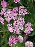 Yarrow - a very useful herb - geograph.org.uk - 910260.jpg