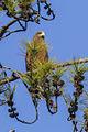 Yellow-billed Kite - Ranomafana - Madagascar S4E8071 (15289286435).jpg