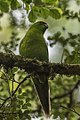 Yellow-fronted Parakeet - Stewart Island - New Zealand (38387549605).jpg
