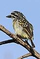 Yellow-fronted tinkerbird, Pogoniulus chrysoconus, at Walter Sisulu National Botanical Garden, South Africa (15386886533).jpg