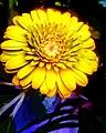 Yellow Chrysanthemum close up.jpg