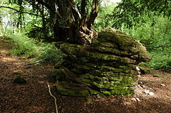 Yew tree growing from a rock outcrop - geograph.org.uk - 803697.jpg
