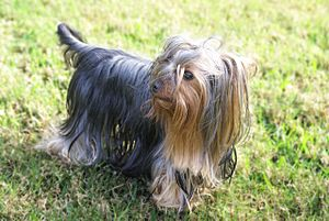 A Yorkshire Terrier.