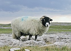 Swaledale-kind