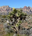 Yucca brevifolia in red rock canyon.jpg