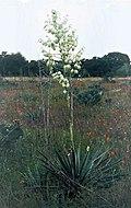 Yucca coahuilensis fh 1184.45 TX BB.jpg