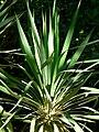 Yucca recurvifolia leaves.jpg