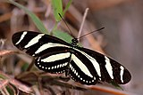 Zebra heliconian longwing (Heliconius charithonia simulator).jpg