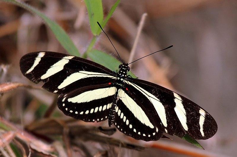 File:Zebra heliconian longwing (Heliconius charithonia simulator).jpg