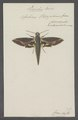 Zonilia - Print - Iconographia Zoologica - Special Collections University of Amsterdam - UBAINV0274 062 05 0011.tif