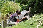 Zookeeper scratching Galapagos tortoise.jpg