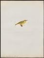 Zosterops senegalensis - 1820-1860 - Print - Iconographia Zoologica - Special Collections University of Amsterdam - UBA01 IZ19200077.tif