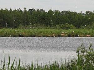 Flamingos im Zwillbrocker Venn.