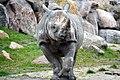 Zwarte neushoorn (16849839327).jpg
