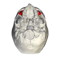 Zygomatic process of maxilla - skull - inferior view.png