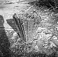 """""""Oprtnjak"""" z deteljo (koš), Gabrk 1955 (2).jpg"""