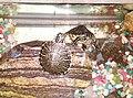 '옐로우 벨리 터틀'이라는 애완용거북이다- 2013-09-09 17-36.jpg