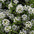 'Alyssum' Carpet of Snow Capel Manor Gardens Enfield London England.jpg