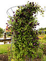'Clematis viticella' Étoile Violette West Garden Hatfield House Hertfordshire England.jpg