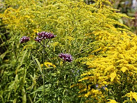 'Verbena bonariensis' Victorian garden Quex House Birchington Kent England 2.jpg