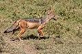 (Carnivora Canidae) Canis mesomelas, Schabrakschakal Black-backed jackal (33356144588).jpg