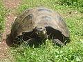 (Chelonoidis nigra) El Chato Reserve, Santa Cruz Galapagos )pic. r.JPG